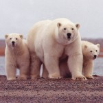 Polar_bear_female_with_young