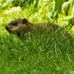 groundhog_grass