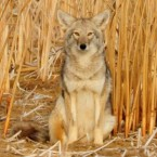 Coyote, USFWS