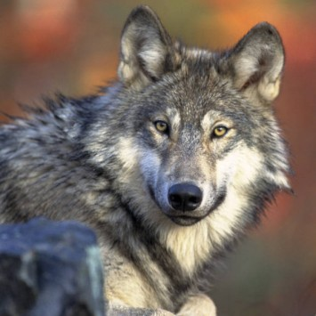 Gray wolf, U.S. Fish and Wildlife Service