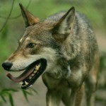 Red wolf, USFWS
