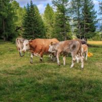 Cattle Vaccine Not Related to 2019 Novel Coronavirus