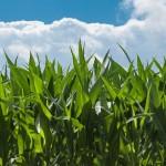 GMOs in Organic Food?