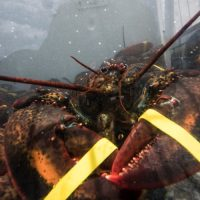 Trump Falsely Claims Obama 'Destroyed' Maine Lobster Industry